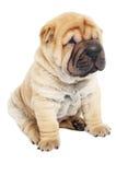 детеныши sharpei щенка собаки стоковое фото