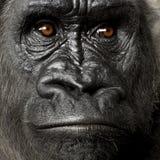 детеныши silverback гориллы Стоковое Изображение RF