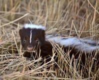 детеныши skunk Стоковое Фото