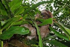 Детеныши 3-toed лень есть лист в джунглях Стоковая Фотография