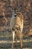 детеныши whitetail оленей Стоковое фото RF