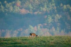 детеныши whitetail самеца оленя Стоковое Изображение