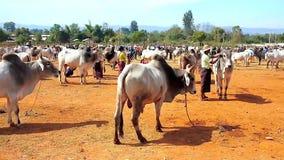 Детеныш телится, коровы зебу и буйволы на основаниях скотин справедливо в Бирме сток-видео