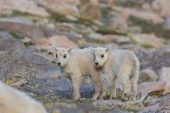 Дети близнеца козы горы Стоковое Фото