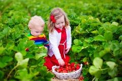 Дети выбирая клубнику на поле фермы Стоковые Изображения