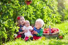 Дети выбирая свежие яблока от дерева в саде плодоовощ Стоковая Фотография