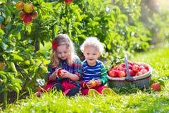 Дети выбирая свежие яблока от дерева в саде плодоовощ Стоковые Фотографии RF