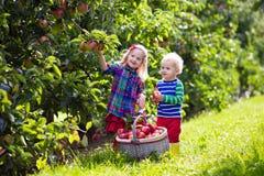 Дети выбирая яблока в саде плодоовощ Стоковое фото RF