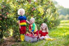 Дети выбирая яблока в саде плодоовощ Стоковое Фото
