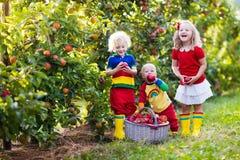 Дети выбирая яблока в саде плодоовощ Стоковая Фотография