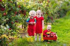Дети выбирая яблока в саде плодоовощ Стоковое Изображение