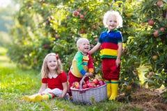 Дети выбирая яблока в саде плодоовощ Стоковое Изображение RF