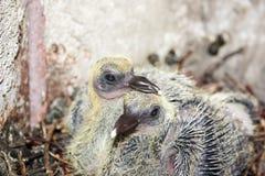 Дети голубя в гнезде положили его клюв Стоковые Изображения RF