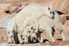 Дети козы горы играя совместно Стоковые Фото