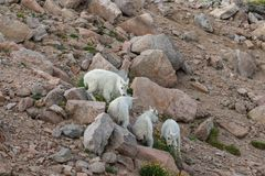 Дети козы горы стоковое изображение rf