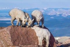 Дети козы скалистой горы Стоковое Фото