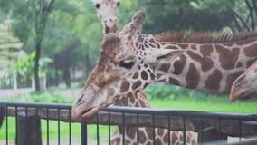 Дети кормят жирафов с листьями на зоопарке E Красивые милые жирафы едят еду овоща с руками детей акции видеоматериалы