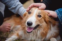 Дети ласкают красную собаку Коллиы граници Стоковые Изображения