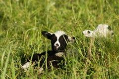 Дети овечки Стоковая Фотография RF