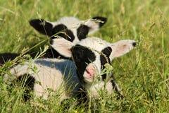 Дети овечки Стоковое фото RF