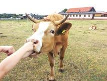 Дети подавая корова на ферме Стоковое Изображение