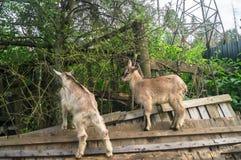 2 дет отечественных козы, взобранного на старой сломанной деревянной загородке, пригороды Москвы, Россия Стоковое Изображение
