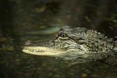 Деформированный аллигатор Стоковое Фото