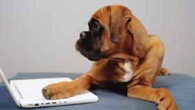 Деятельность милого боксера pupy на ноутбуке сток-видео