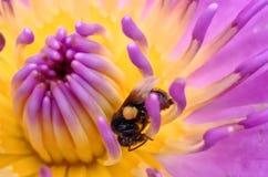 Деятельность пчелы меда на цветке лотоса стоковое фото