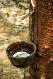 Делать резинового дерева Стоковая Фотография RF