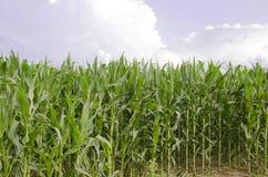 Дело кукурузного поля фермы страны Стоковая Фотография RF
