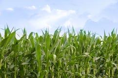 Дело кукурузного поля фермы страны Стоковая Фотография
