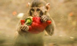 Дело обезьяны Стоковые Изображения RF