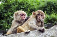 Дело обезьяны Стоковое Изображение RF