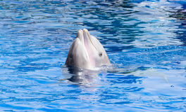 Дельфины в влюбленности Стоковое Фото