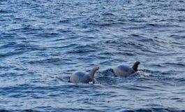 Дельфины в океане около Vila Franca делают Campo Стоковая Фотография