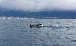 Дельфины в океане около Vila Franca делают Campo Стоковая Фотография RF