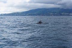 Дельфины в океане около Vila Franca делают Campo Стоковое Фото