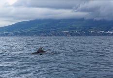 Дельфины в океане около Vila Franca делают Campo Стоковое Изображение