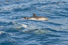 Дельфины в океане Стоковое Фото