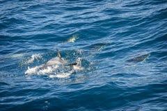 Дельфины в океане Стоковые Изображения RF