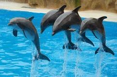 Дельфины играя в бассейне Стоковое Изображение RF