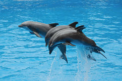 Дельфины играя в бассейне Стоковые Изображения