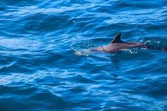 Дельфины Мадейры Стоковые Изображения RF