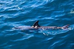Дельфины Мадейры Стоковое Изображение RF