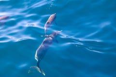 Дельфины Мадейры Стоковое фото RF