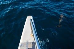 Дельфины Мадейры Стоковая Фотография RF