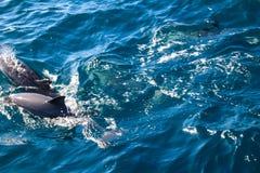 Дельфины Мадейры Стоковая Фотография