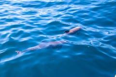 Дельфины Мадейры Стоковое Фото