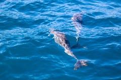Дельфины Мадейры Стоковое Изображение